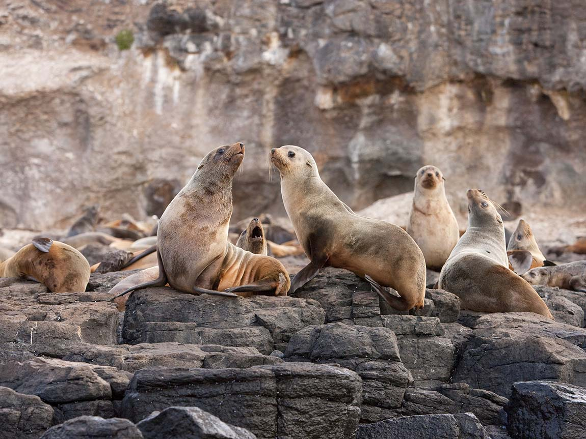 Seals at Seal Rock. Phillip Island, Victoria, Australia