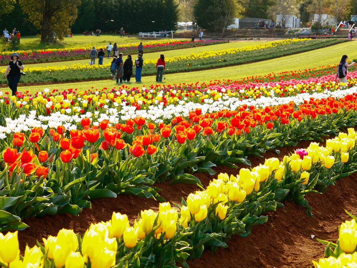 Tesselaar Tulip Festival, Yarra Valley and Dandenong Ranges, Victoria, Australia